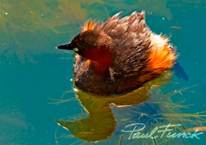 Little Grebe adult