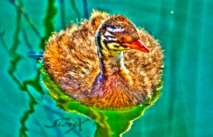 Little Grebe juvenile